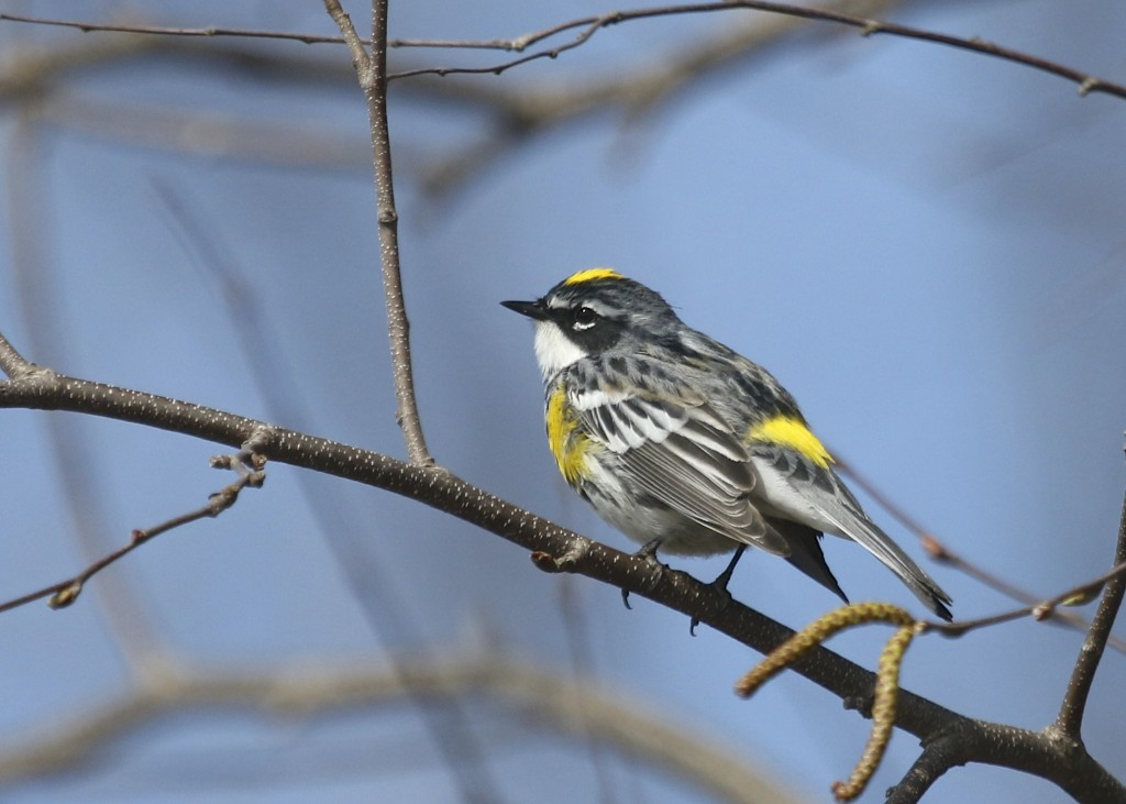 Yellow-rumped Warbler at Wallkill River NWR, 4/26/14.