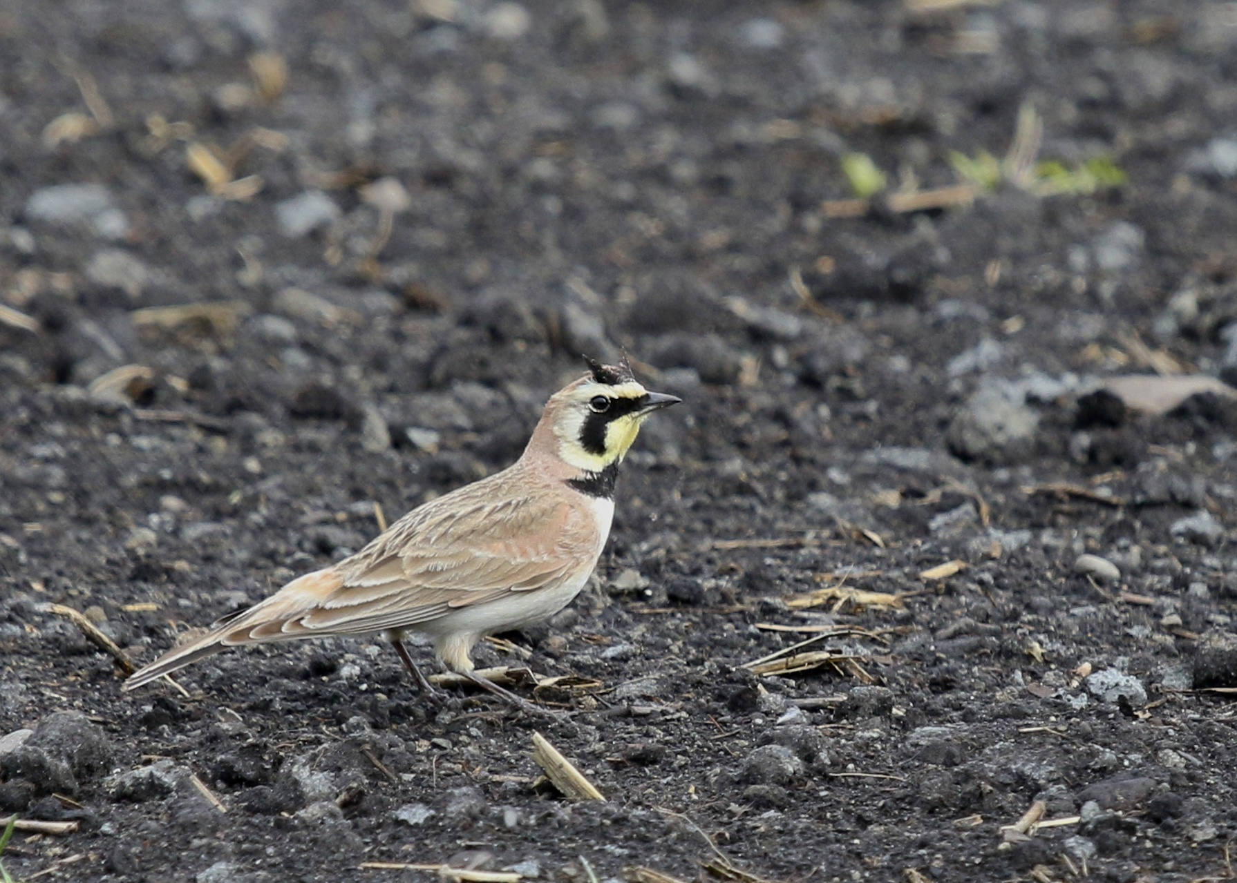 A Horned Lark shows off his namesake. Pine Island Turf Nursery, 5/8/14.
