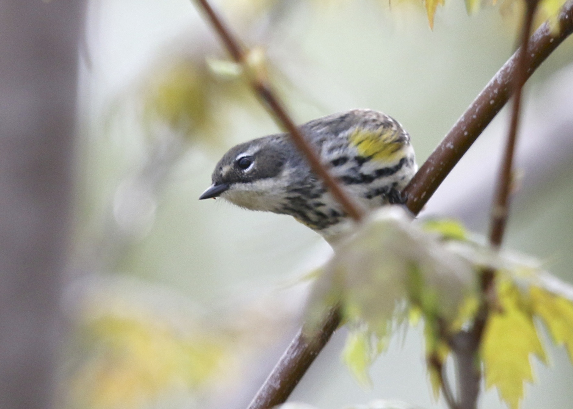 There were plenty of Yellow-rumped Warblers on the west side of the Liberty Loop, 5/8/14.