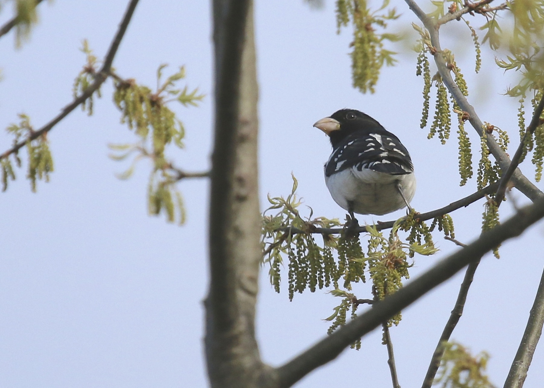 My FOS Rose-breasted Grosbeak at the Liberty Loop, 5/8/14.