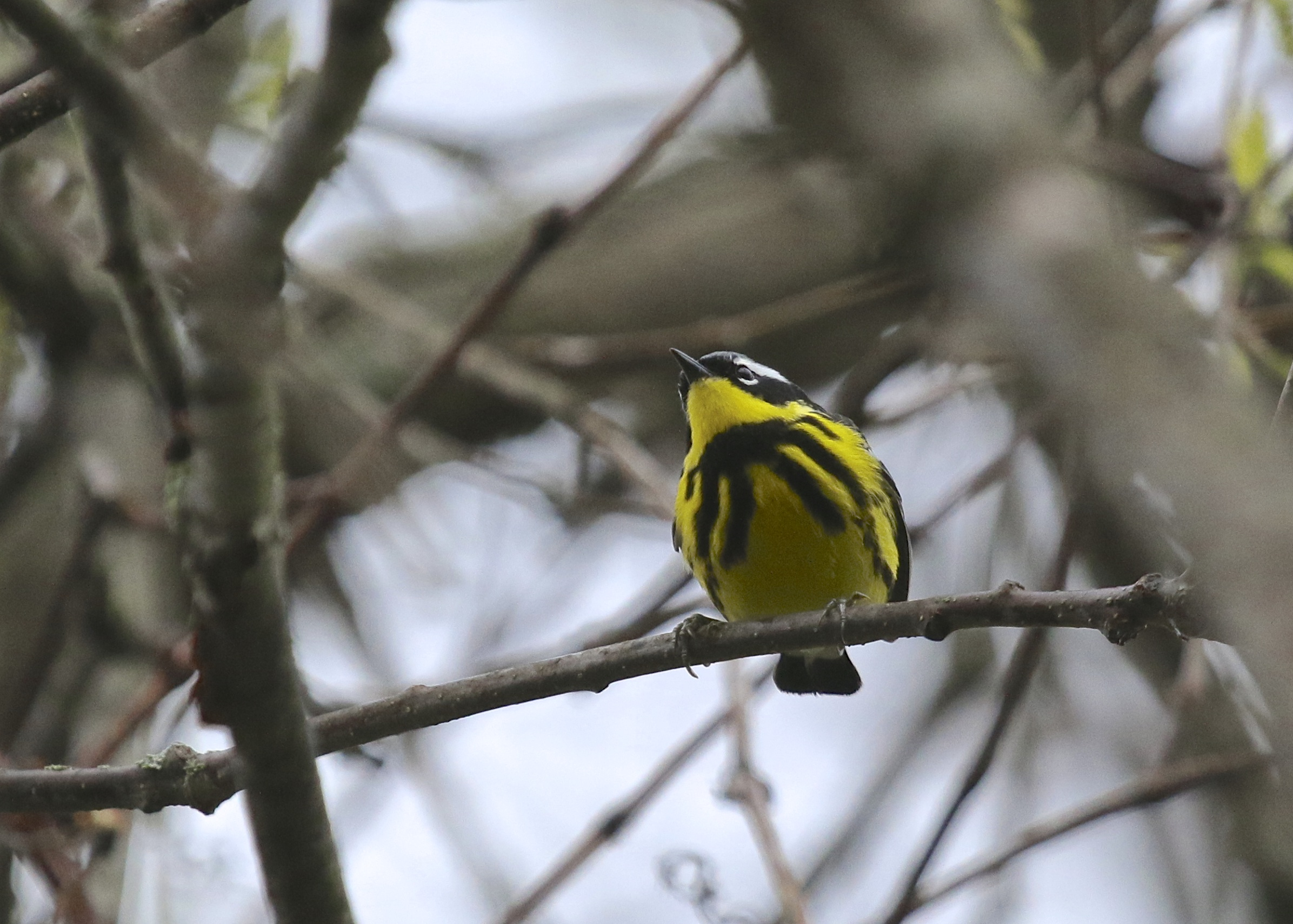 A Magnolia Warbler overhead at the Nature Trail, Bashakill State WMA 5/10/14.