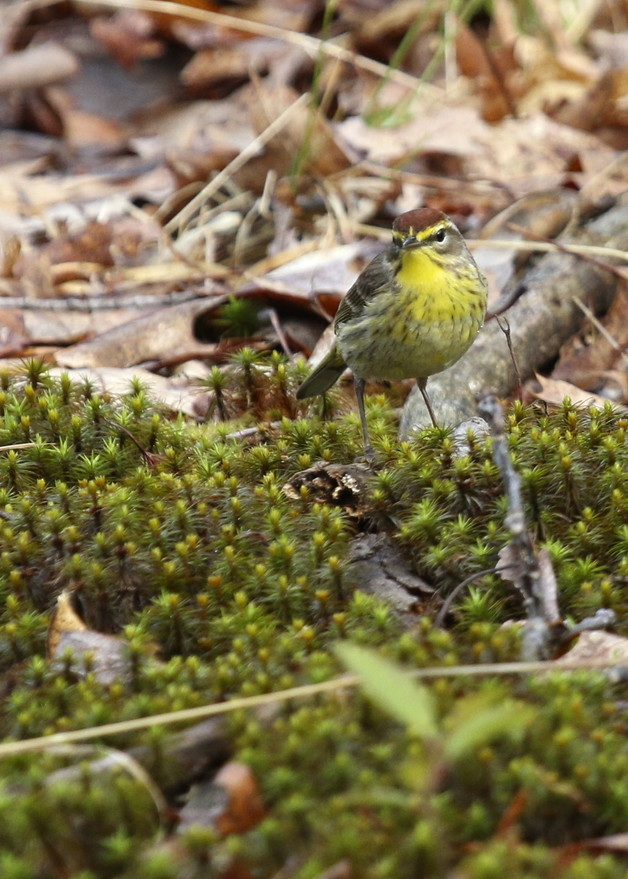 This Palm Warbler was extremely confiding and also nice enough to pose with a nice foreground. Bashakill State WMA, 5/1