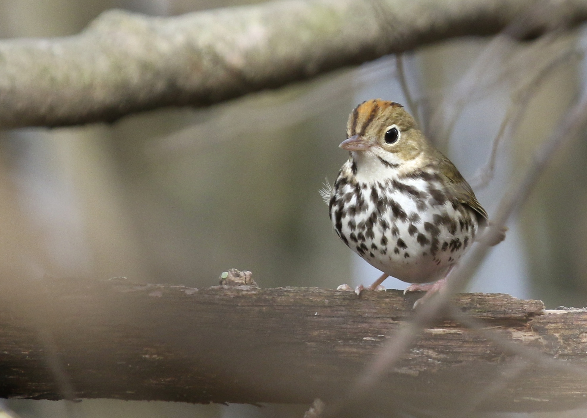 We plenty of very good looks at Ovenbirds today. Bashakill State WMA, 510/14.