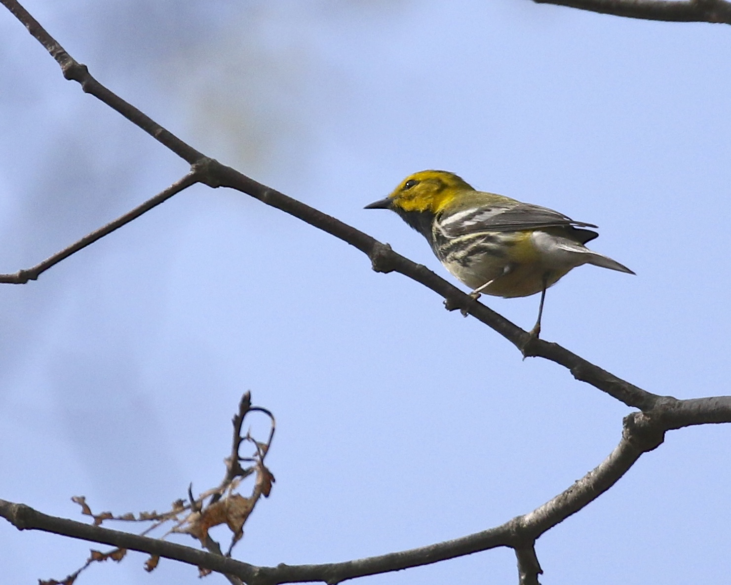 I identified this Black-throated Green Warbler by ear before we located it. Bashakill State WMA, 5/10/14.