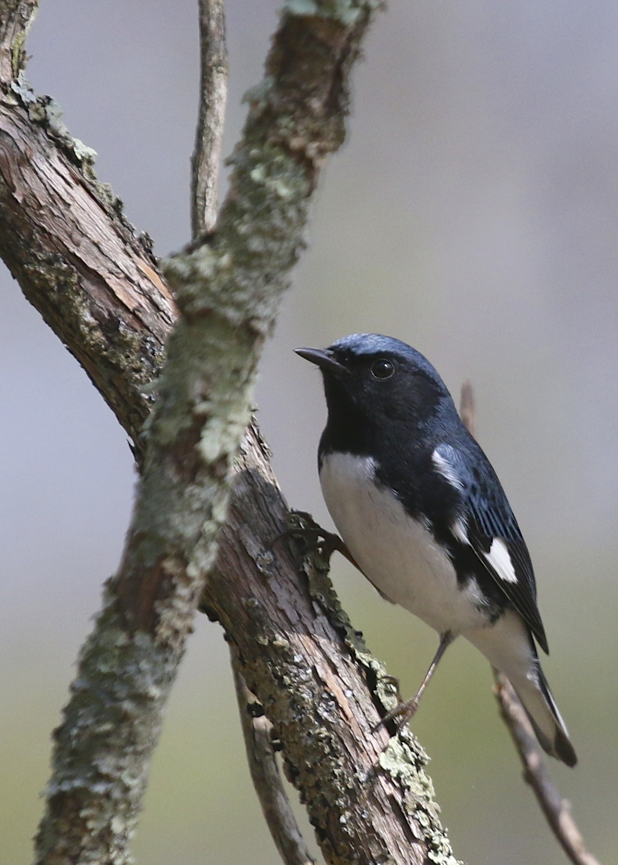 Male Black-throated Blue Warbler at the Bashakill State WMA, 5/10/14.