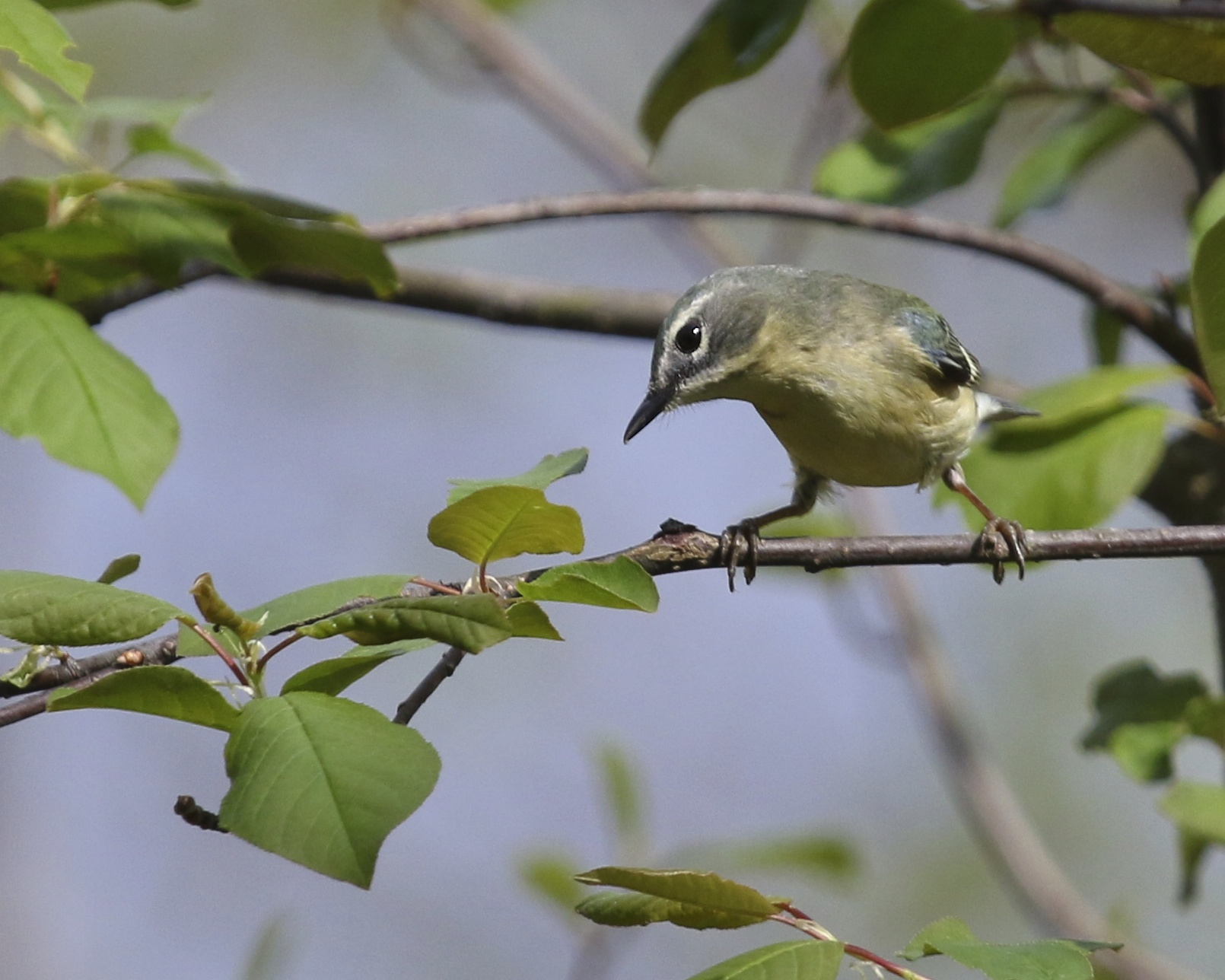 Female Black-throated Blue  Warbler at Bashakill State WMA, 5/10/14.