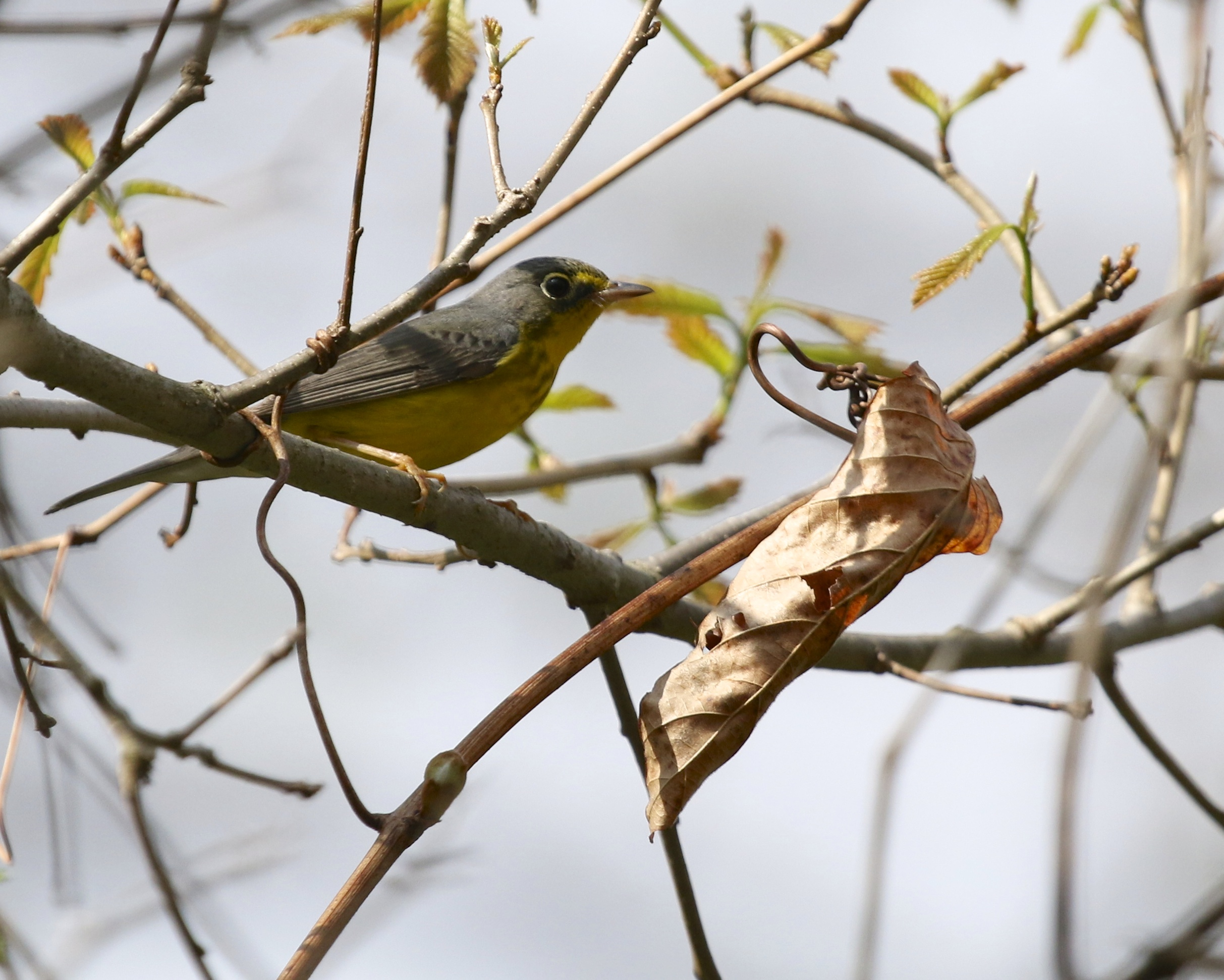 Canada Warbler on the Nature Trail at the Bashakill, 5/10/14.