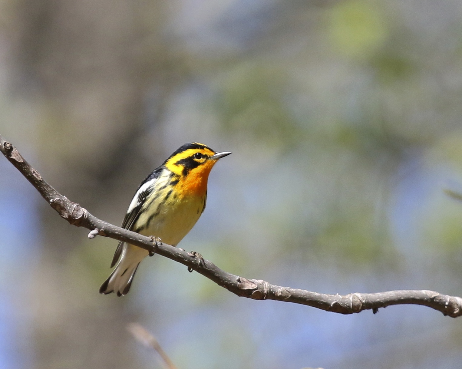 A Beautiful Blackburnian Warble at Pochuk Mountain State Forest, 5/11/14.