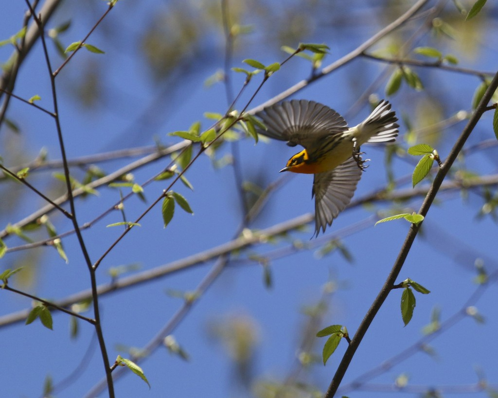 Blackburnian Warbler in flight, Pochuk Mountain State Forest, 5/11/14.