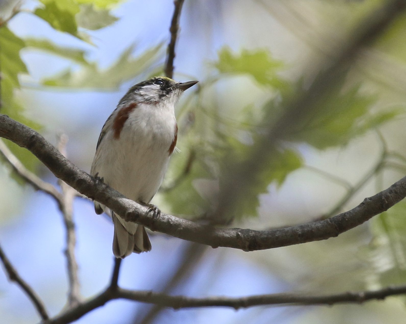 Chestnut-sided Warbler at Pochuk Mountain State Forest, 5/11/14.