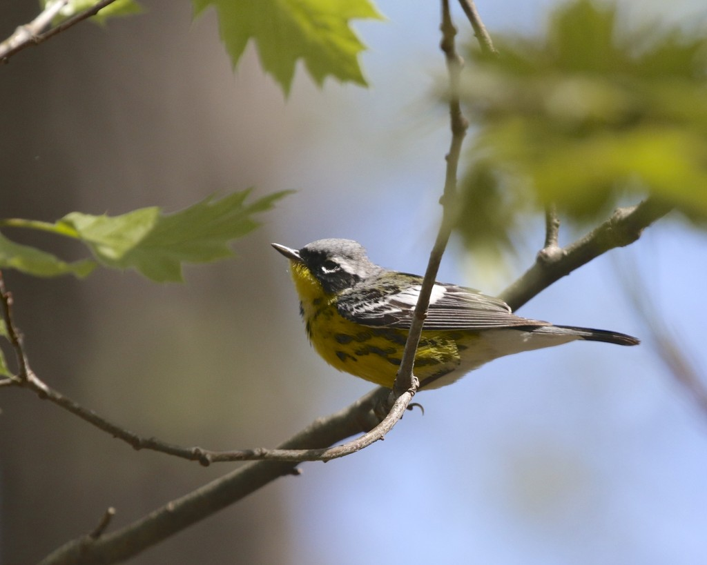 Magnolia Warbler at Pochuk Mountain State Forest, 5/11/14.
