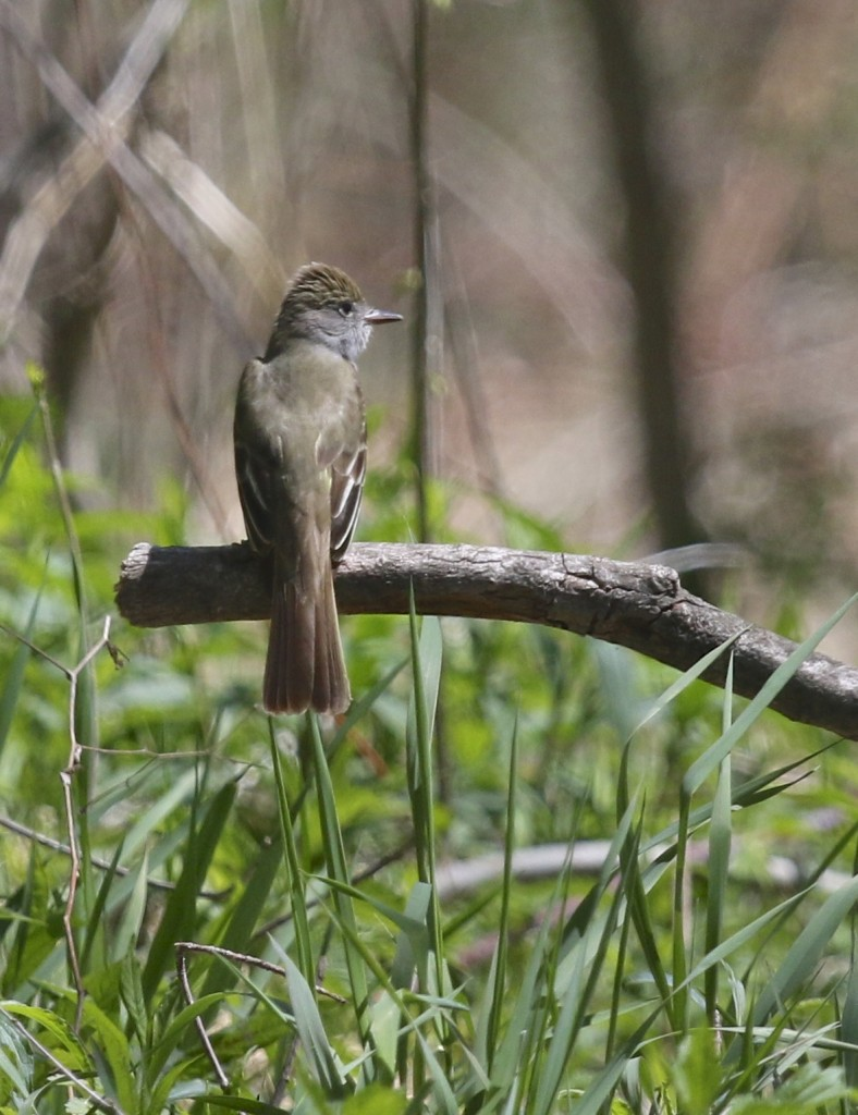 Great-crested Flycatcher at Winding Waters Trail, 5/11/14.