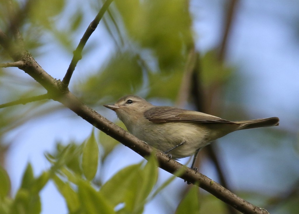 Warbling Vireo at 6 1/2 Station Road Sanctuary, 5/14/14.