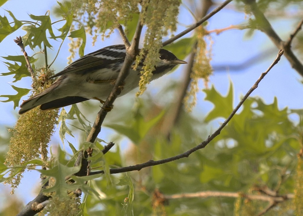 One of two Blackpoll Warblers at 6 1/2 Station Road Sanctuary, 5/14/14.