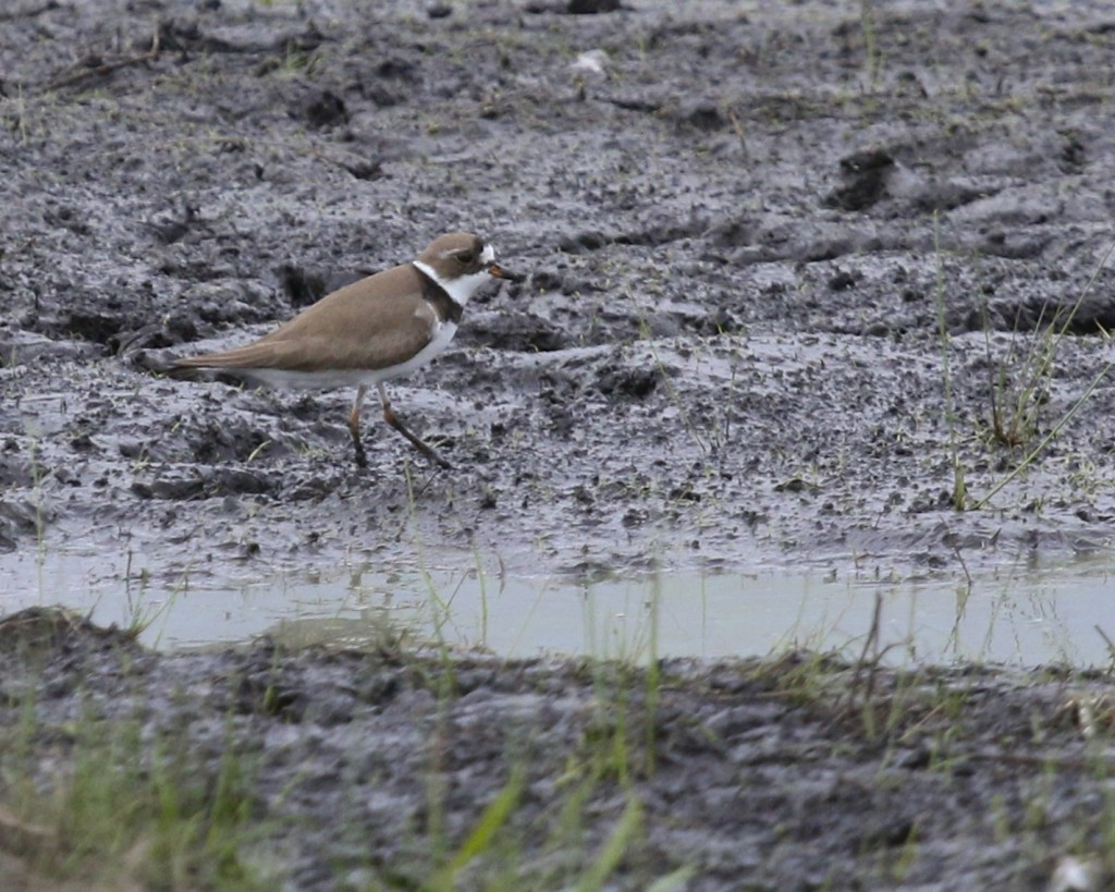 One of two Semipalmated Plover at Wallkill River NWR, 5/15/14. They were located in the compound just north of Oil City Road, to the west of Liberty Lane.