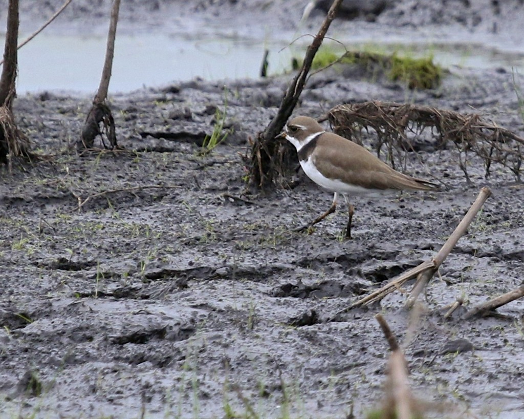 Semipalmated Plover at Wallkill River NWR, 5/15/14.