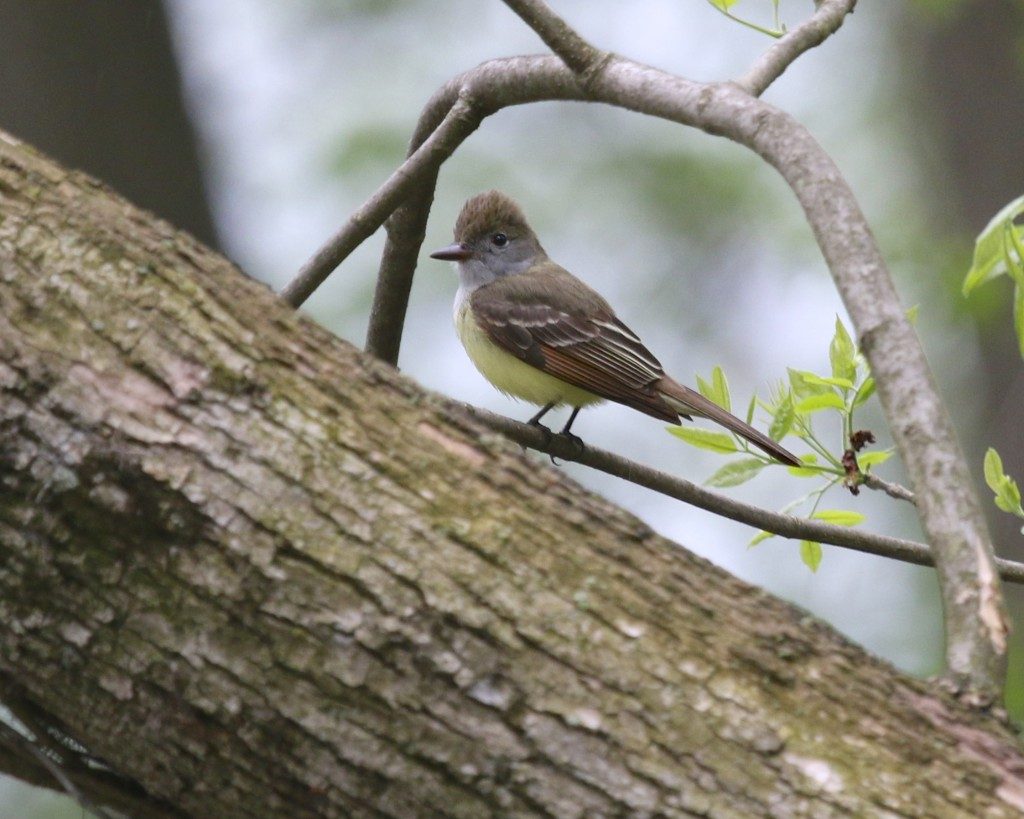 One of two Great-crested Flycatchers on the Liberty Loop Friday night, 5/16/14.