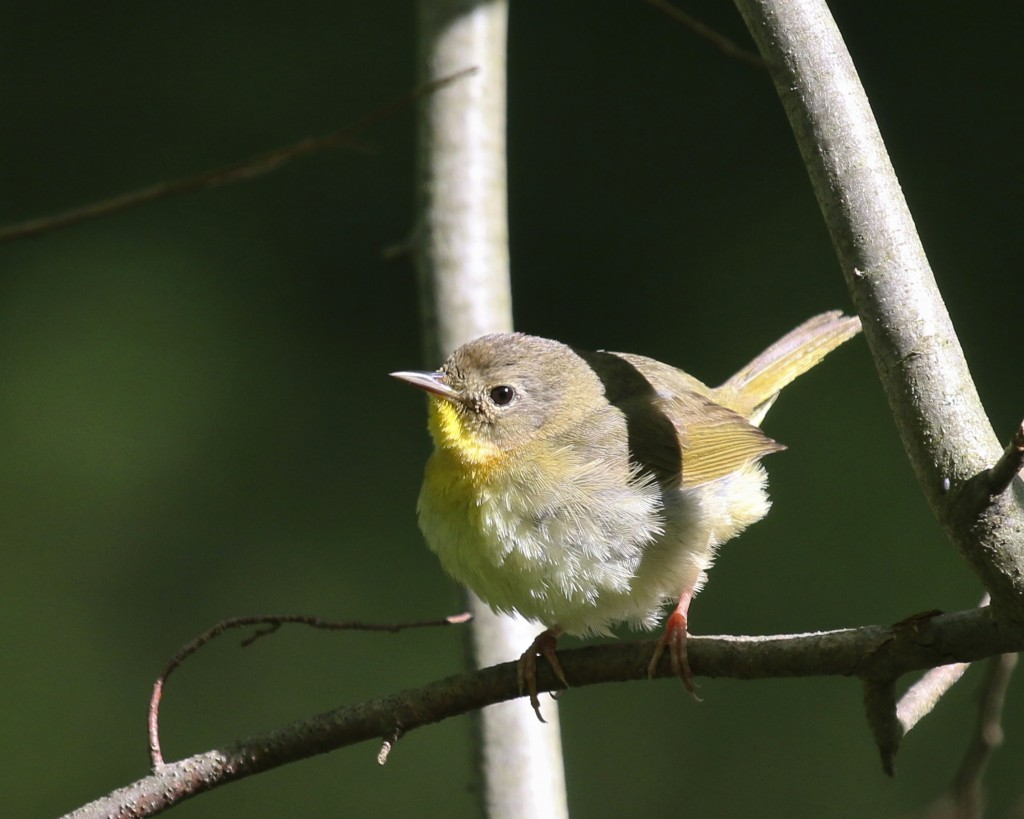 One of many Common Yellowthroats at the Bashakill WMA on 5/17/14.