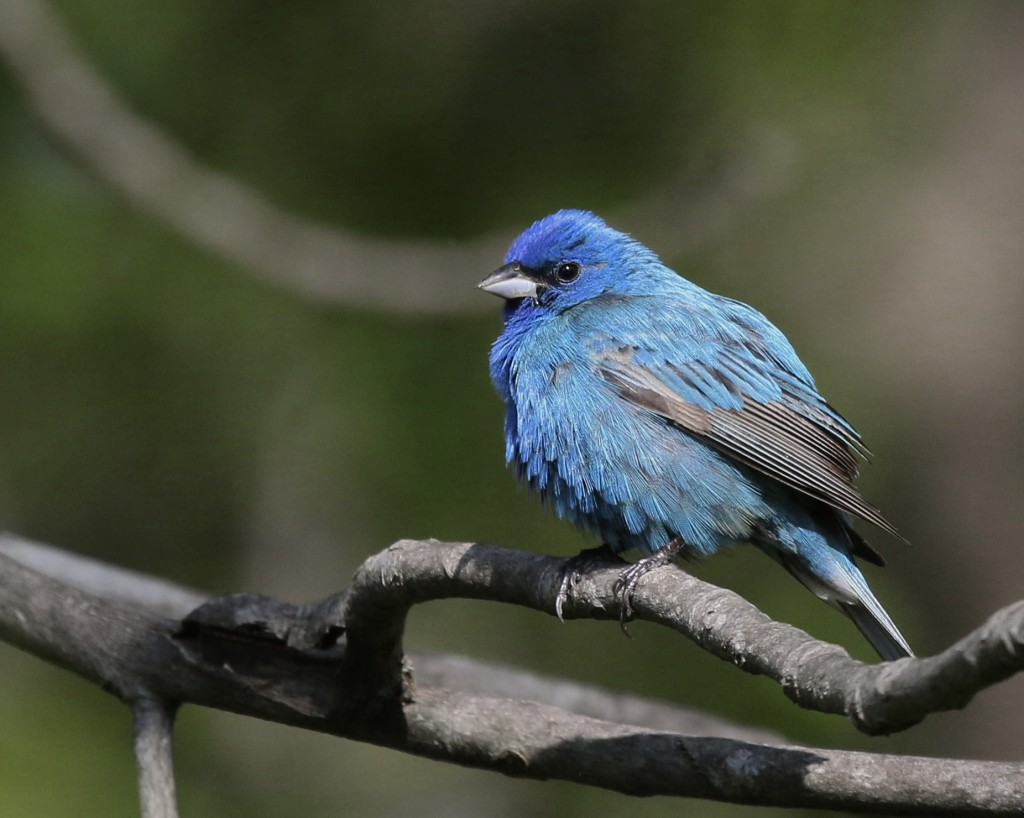 One of MANY Indigo Buntings at Goosepond Mtn. State Park, 5/18/14.