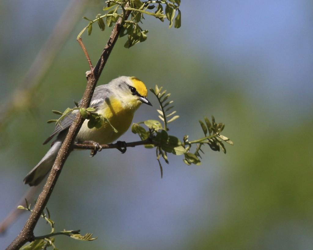 Blue-winged Warbler at Goosepond Mtn. State Park, 5/18/14.