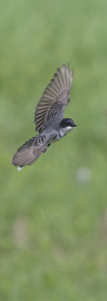 Eastern Kingbird in flight, Goosepond Mountain State Park, 5/18/14.