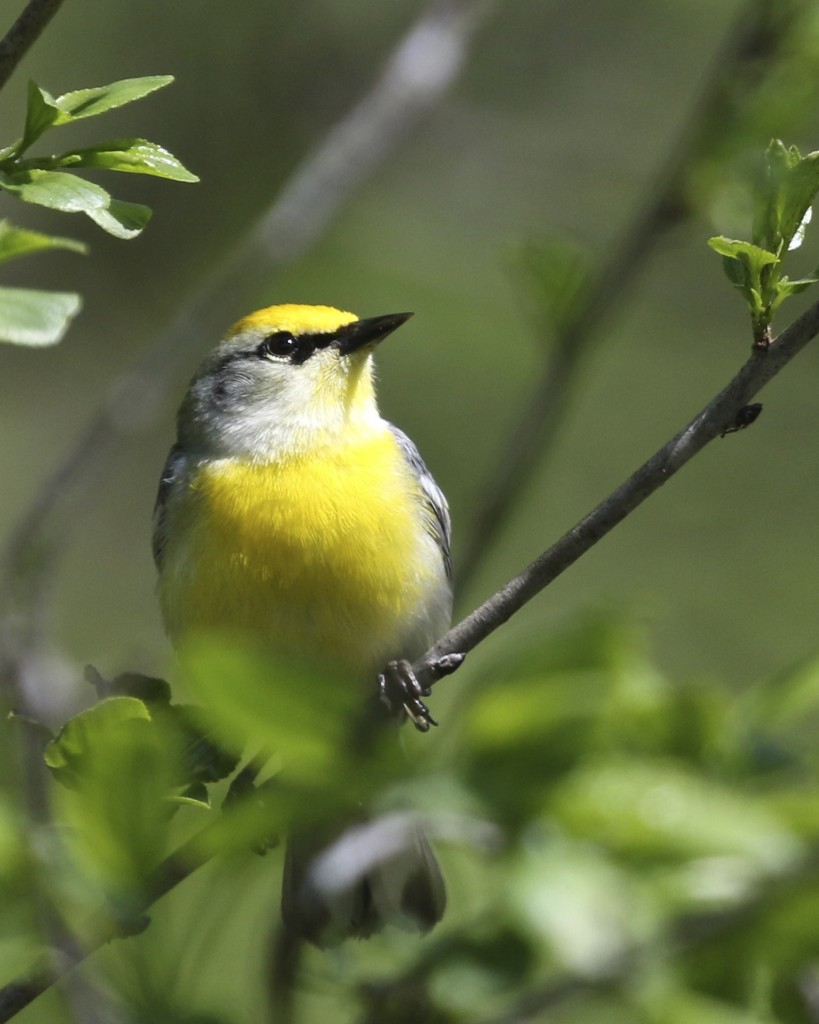 I got some incredible looks at several Blue-winged Warblers out at Goosepond  Mountain State Park on Sunday 5/18/14.