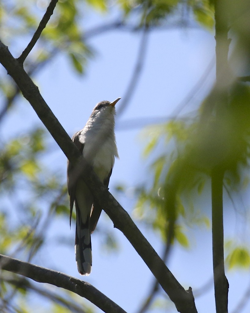 My FOS Yellow-billed Cuckoo, Goosepond Mtn. State Park, 5/18/14.