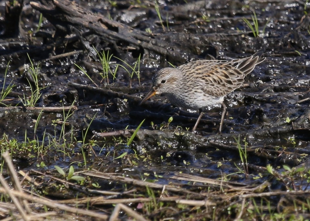 White-rumped Sandpiper at the Liberty Loop, Wallkill River NWR, 5/19/14.