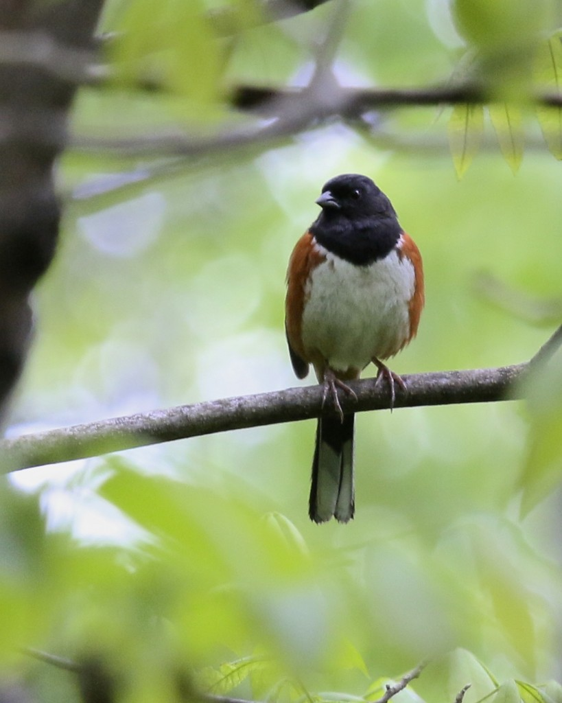 Eastern Towhee, Goose Pond Mountain State Park, 5/24/14.