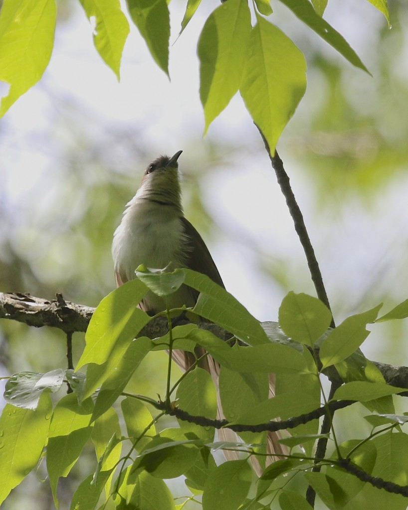 Black-billed Cuckoo at Goose Pond Mountain State Park, 5/24/14.