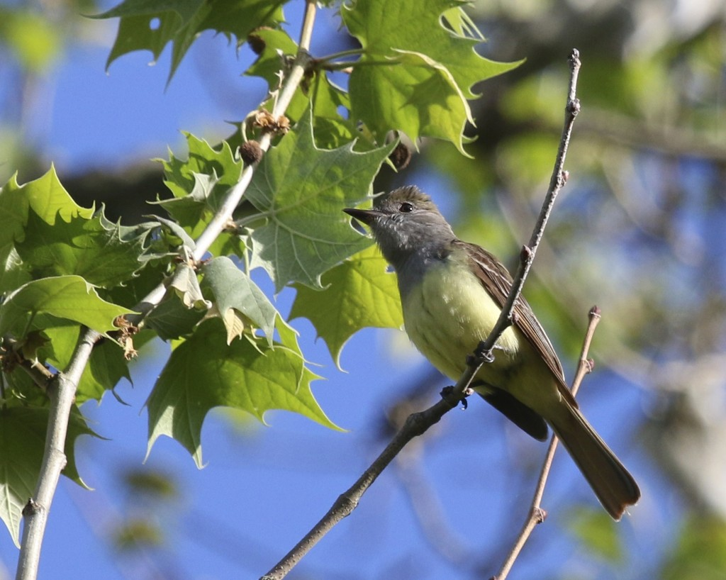 Last year I could not get a photo of a Great-crested Flycatcher, this year it's a different story. Wallkill River NWR, 5/24/14.