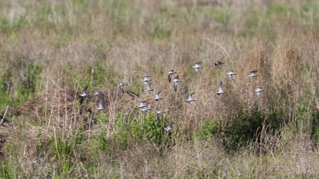 Any thoughts on the ID of these shorebirds?  Liberty Loop, 5/24/14.