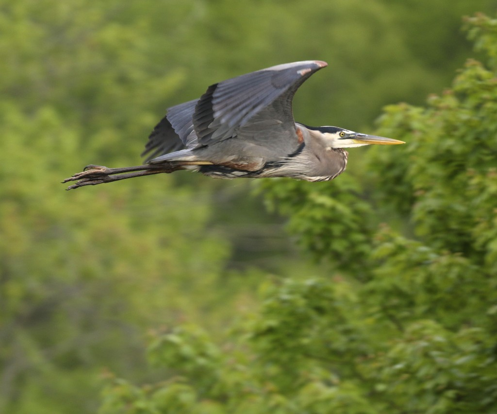 My first decent Great Blue Heron shot of the season. Taken on Haven Road at the Bashakill WMA, 5/25/14.