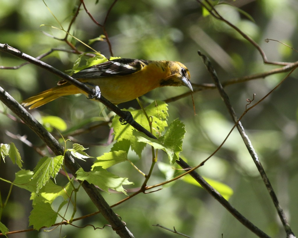 Baltimore Oriole at the Horseshoe Trail, Bashakill WMA, 5/25/14.