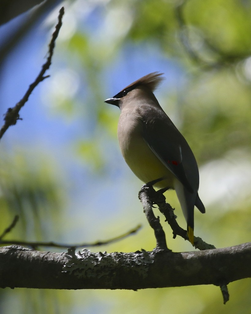 I haven't had too many Cedar Waxwings this spring. Bashakill WMA, 5/25/14.