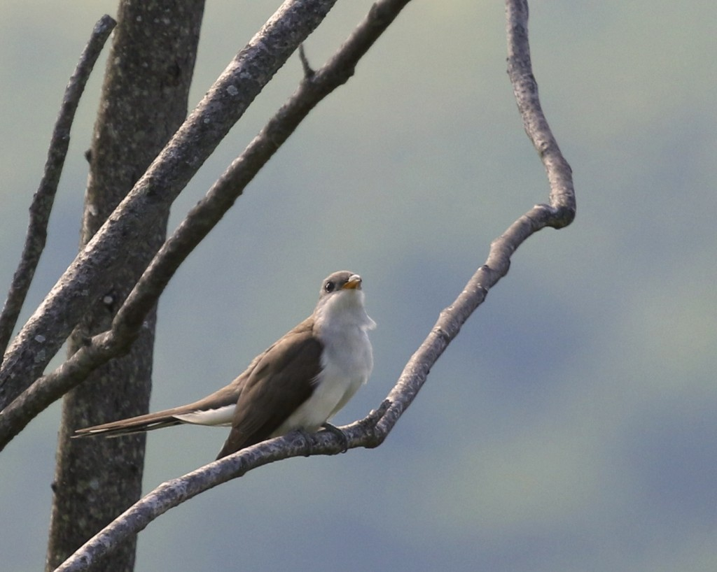 Yellow-billed Cuckoo on the Winding Waters Trail at Wallkill River NWR, 5/26/14.