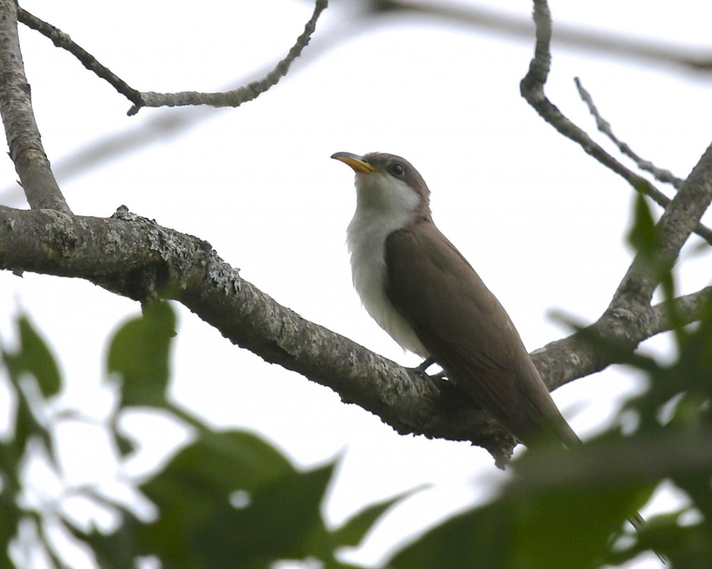 Yellow-billed Cuckoo at Wallkill River National Wildlife Refuge, Liberty Loop, 5/29/14.
