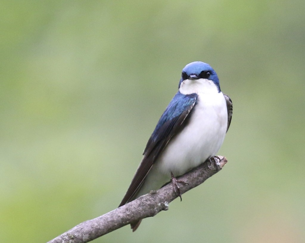 Tree Swallow at Wallkill River NWR, 5/29/14.