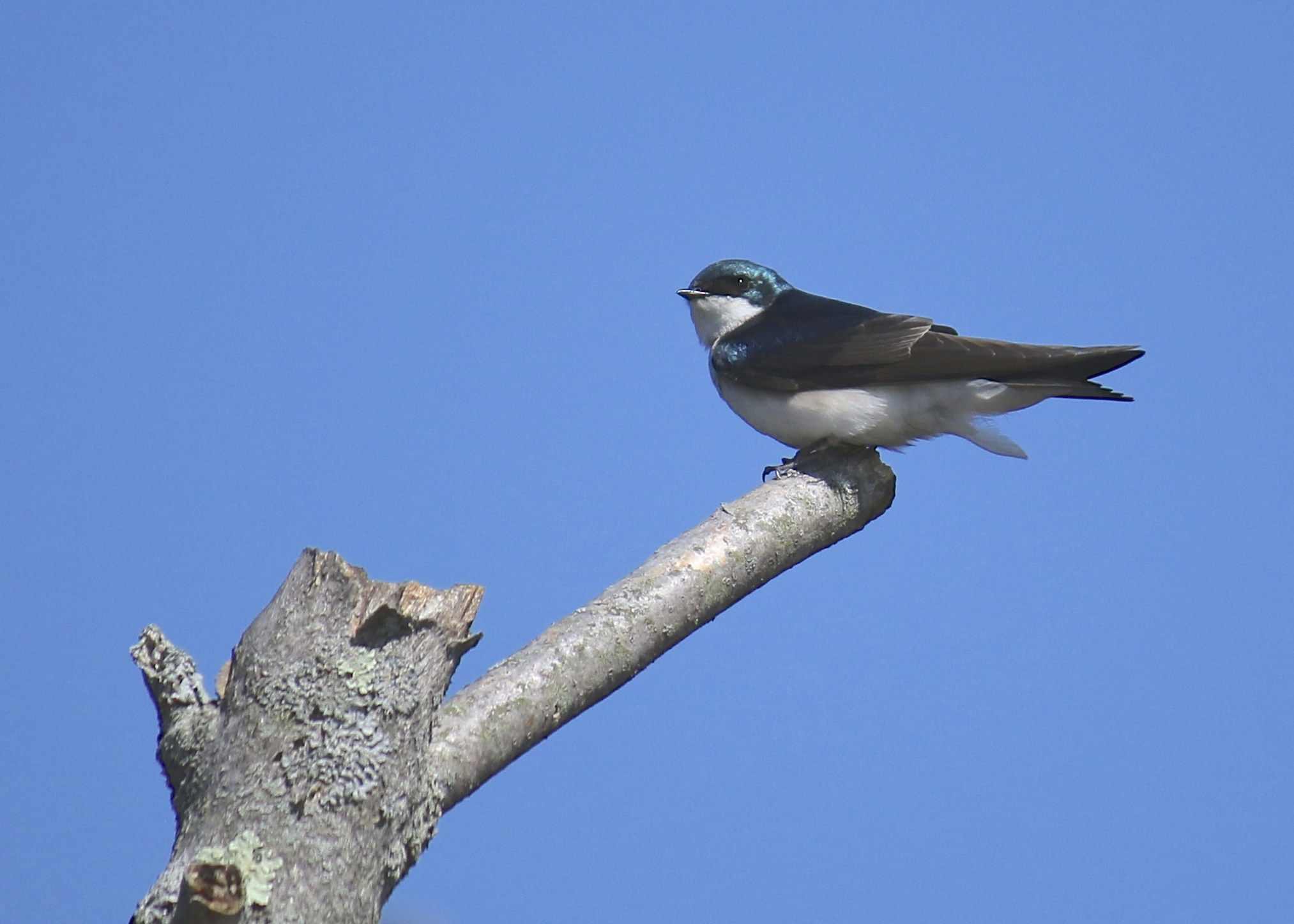 Tree Swallow on the Winding Waters Trail, 5/4/14.