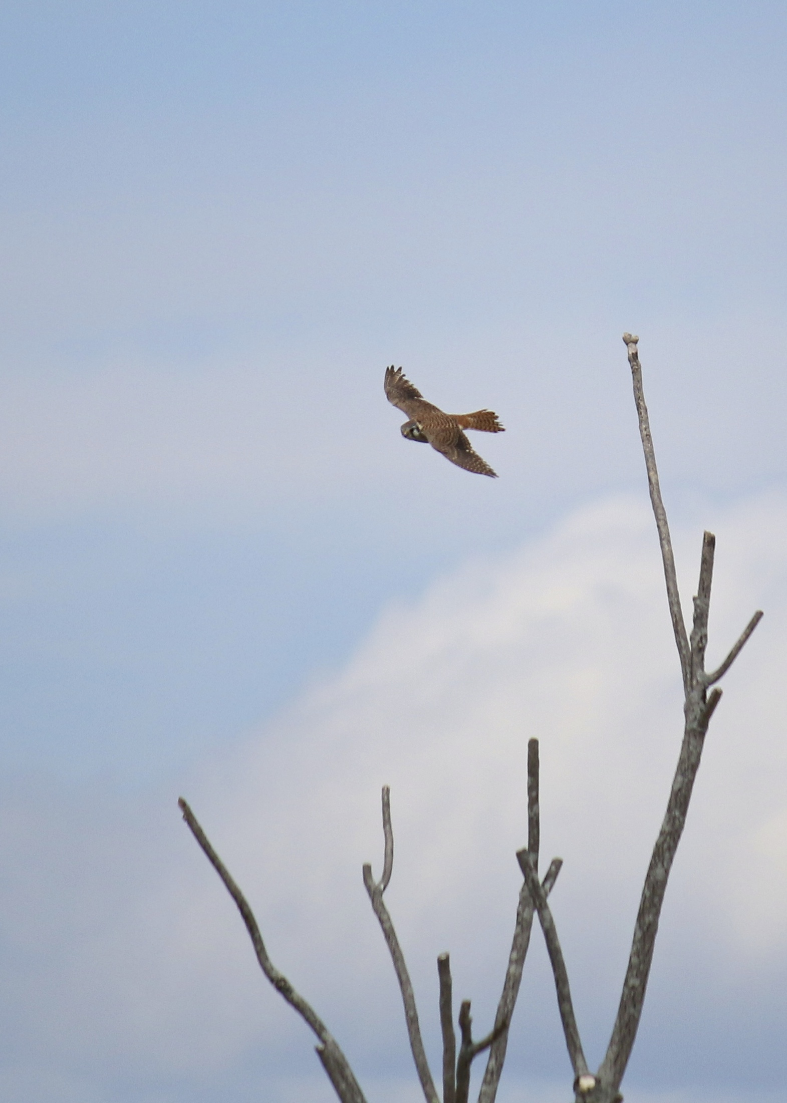 A female American Kestrel takes flight, Liberty Lane 5/4/14.