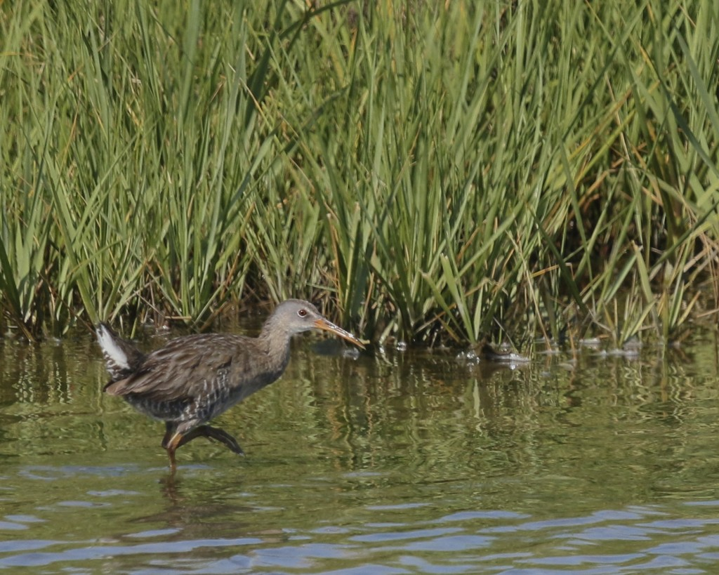 This was the second of five Clapper Rails that we saw for the day. Edwin B. Forsythe NWR, 6/16/14.
