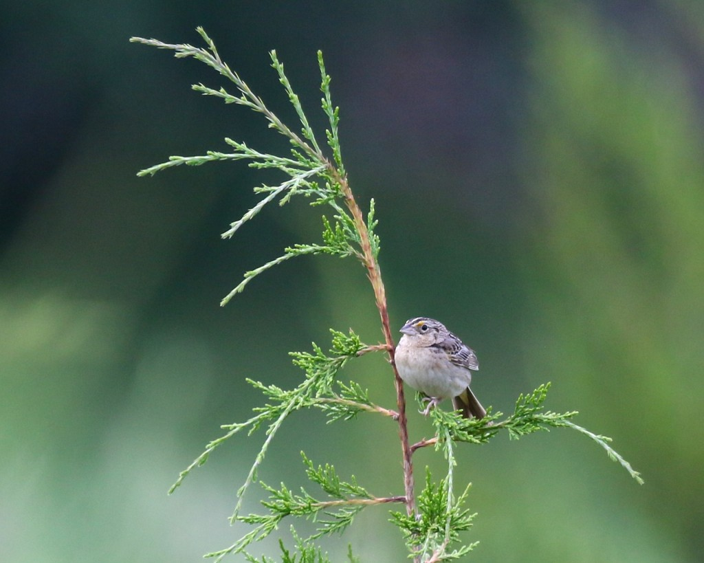 One more of the Grasshopper Sparrow. I love this bird. AT in Vernon NJ, 6/27/14.