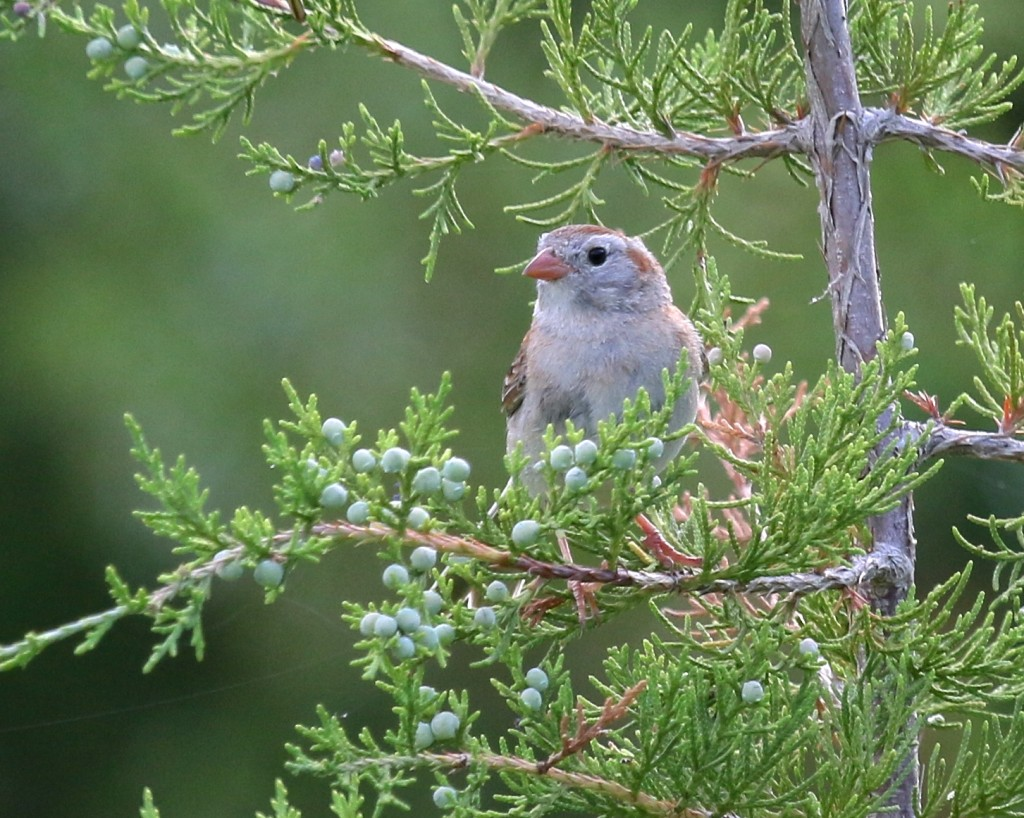 Field Sparrow on the Appalachian Trail in Vernon, NJ, 6/27/14.