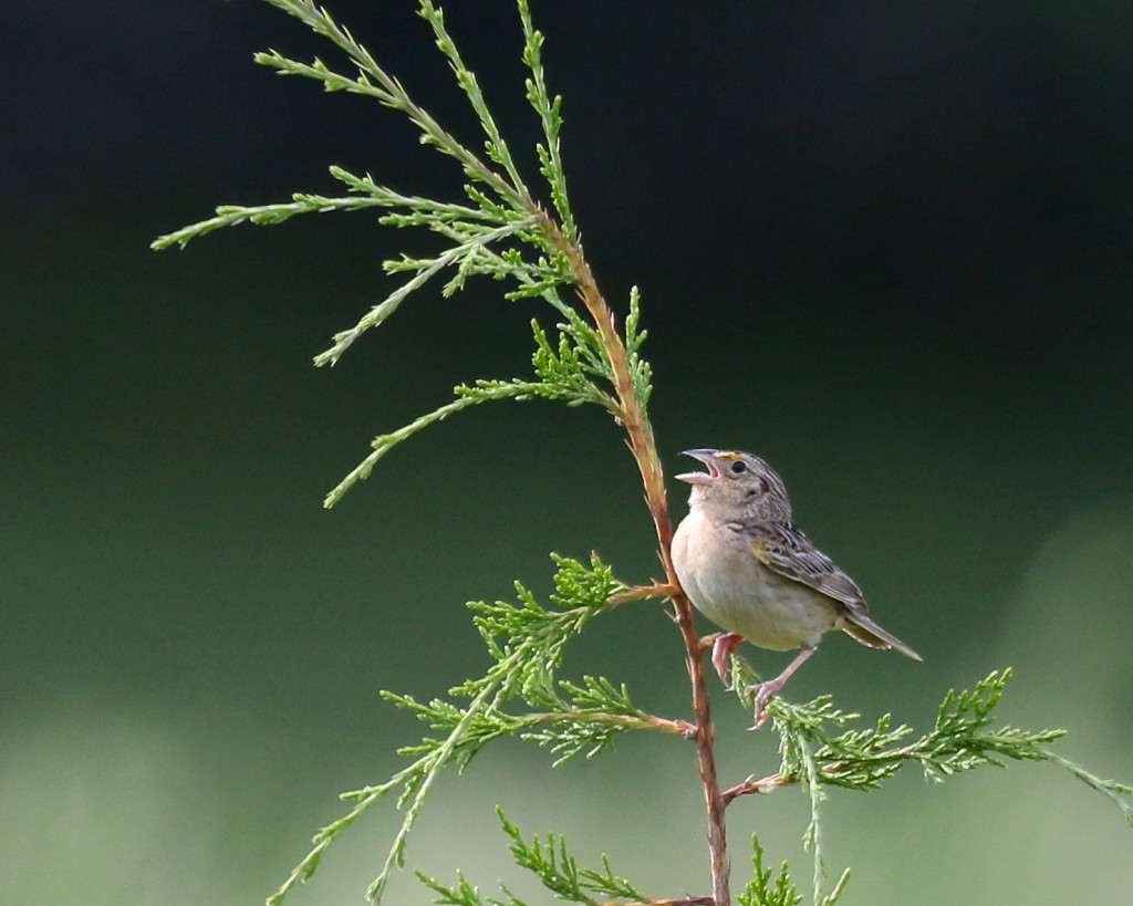 Singing Grasshopper Sparrow on the AT near Route 94, in Vernon NJ, 6/ 27/14.
