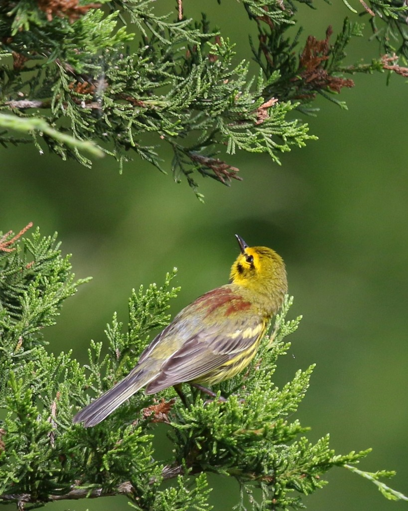 I've been trying for a good Prairie Warbler shot all spring, I sort of like this one. AT at Route 94, 6/27/14.
