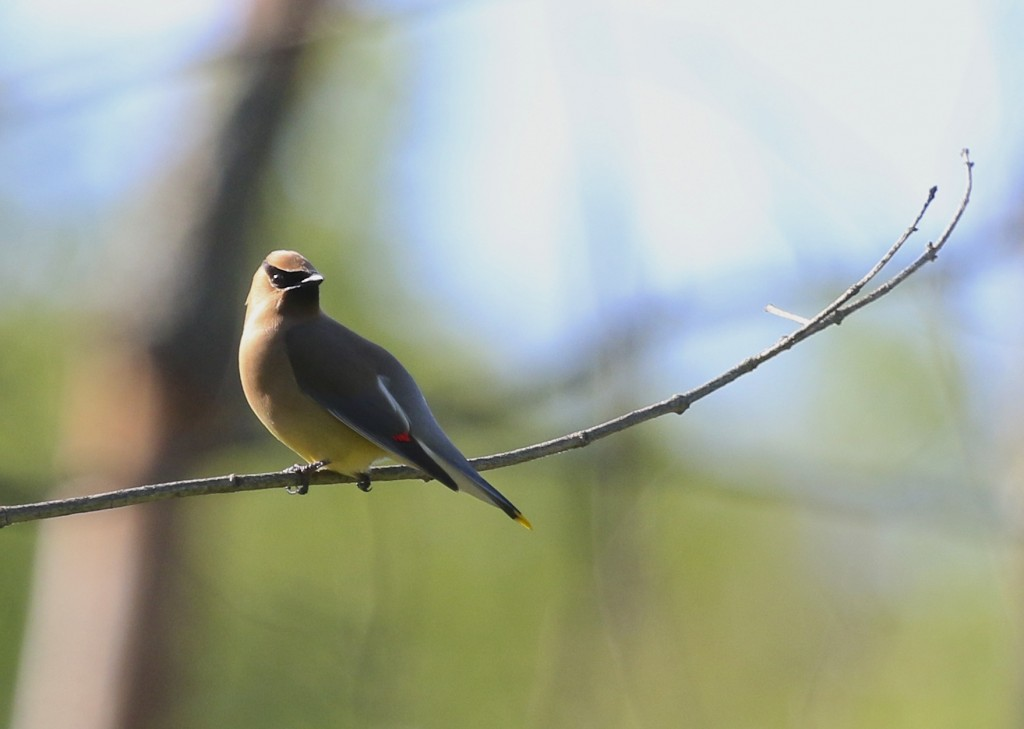 Another bird that I saw in high numbers this week - Cedar Waxwing at Sterling Forest SP, 5/31/14.