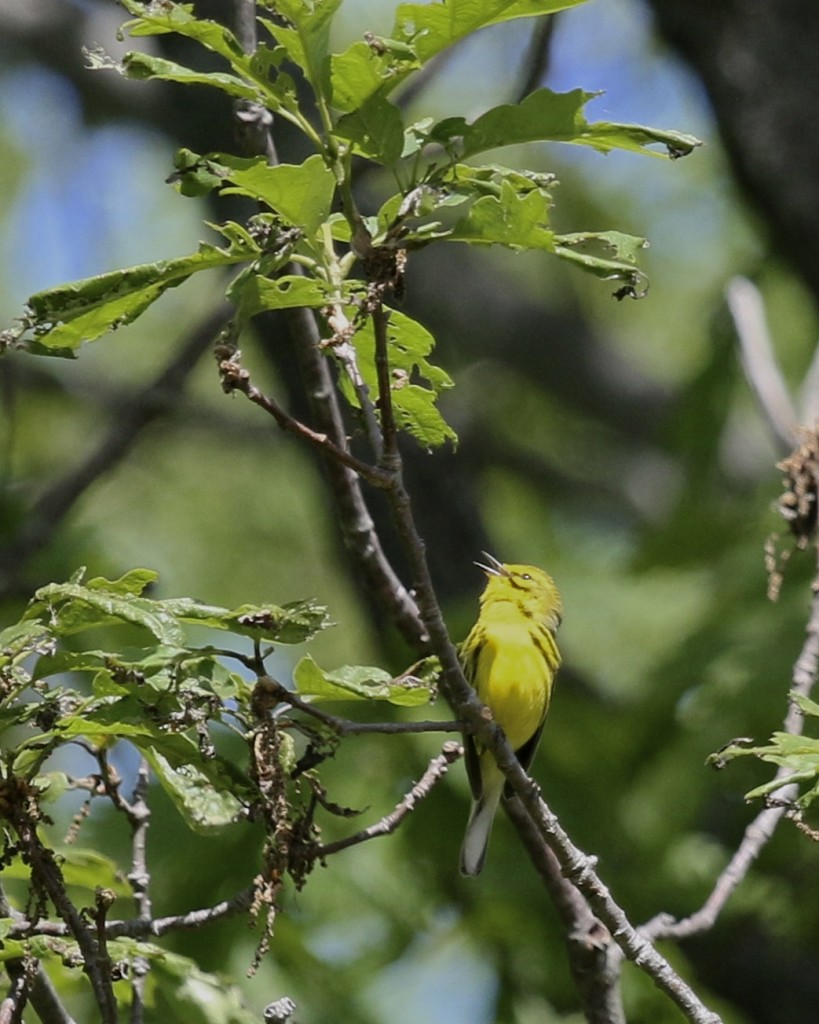 Prairie Warbler singing at Ironwood Drive in Sterling Forest SP, 5/31/14.