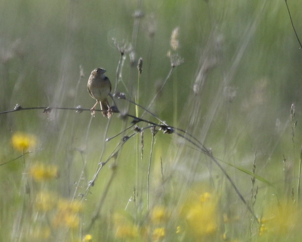 Grasshopper Sparrow out at Shawangunk Grasslands NWR, 6/1/14.