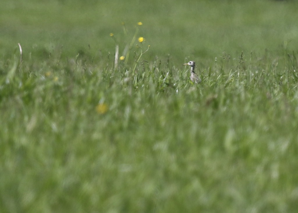 Super bird, lousy photo. One of three UPLAND SANDPIPERS today in Ulster County - 6/1/14.