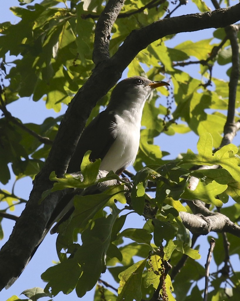 Yellow-billed Cuckoos are plentiful out at Sterling Park SP. This one was seen on 6/2/14.